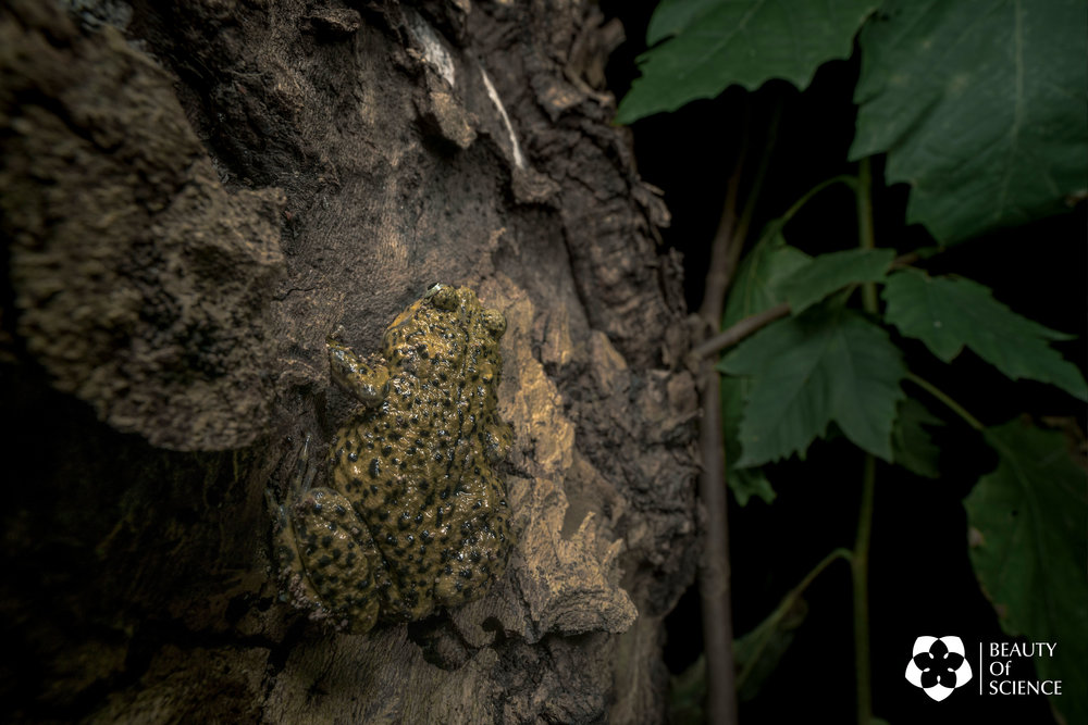 A Sichuan narrow-mouthed frog climbing on a tree trunk.