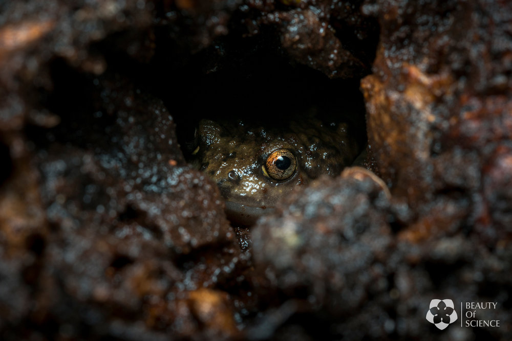 A Sichuan narrow-mouthed frog hidden inside a tree hole.