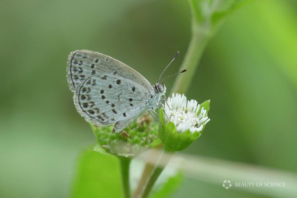 A pale grass blue ( Pseudozizeeria maha )