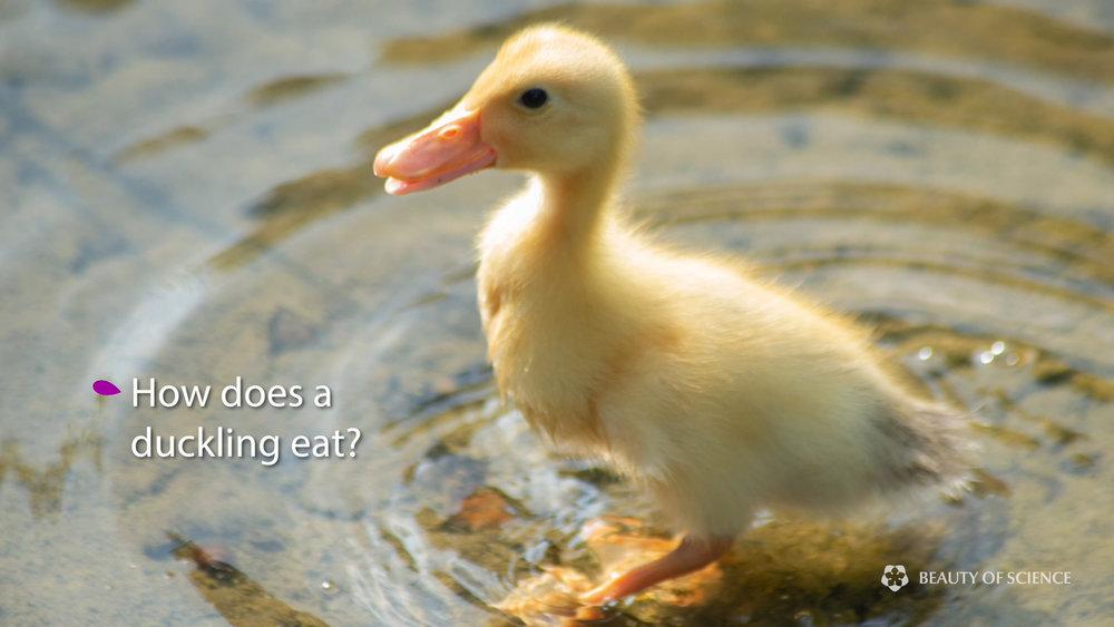 6 duckling.jpg