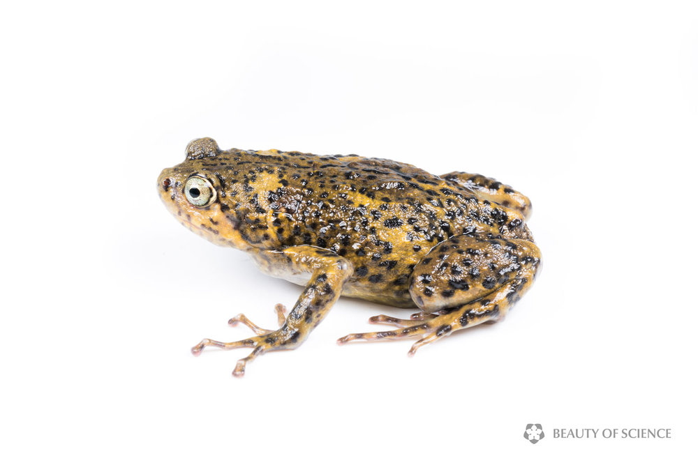 sichuan-narrow-mouthed-frog-white-02.jpg