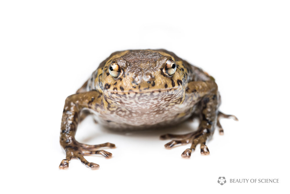 sichuan-narrow-mouthed-frog-white-03.jpg