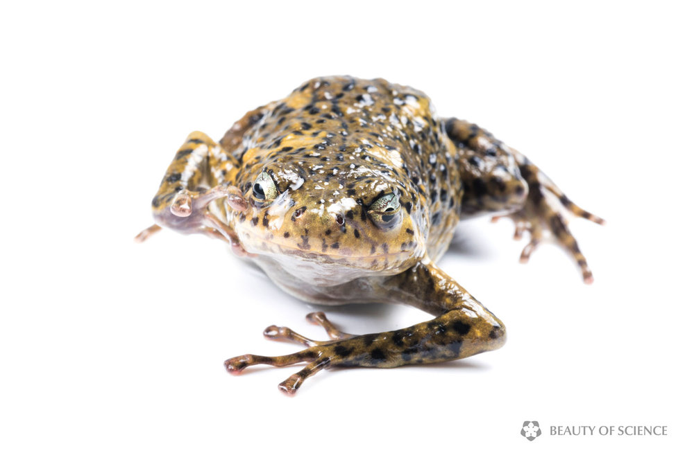 sichuan-narrow-mouthed-frog-white-06.jpg