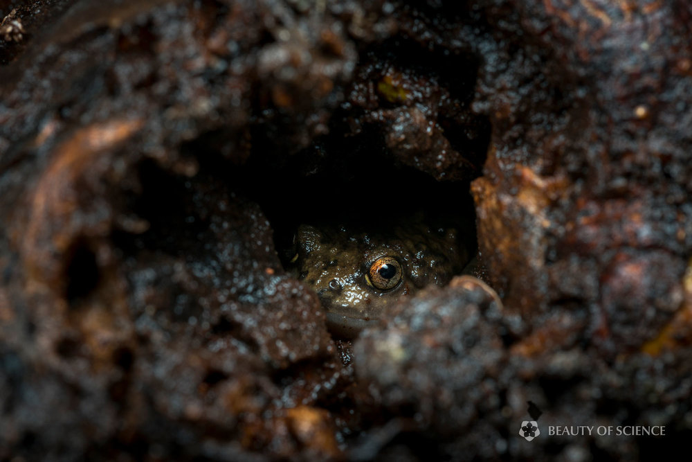 sichuan-narrow-mouthed-frog-habitat-02.jpg