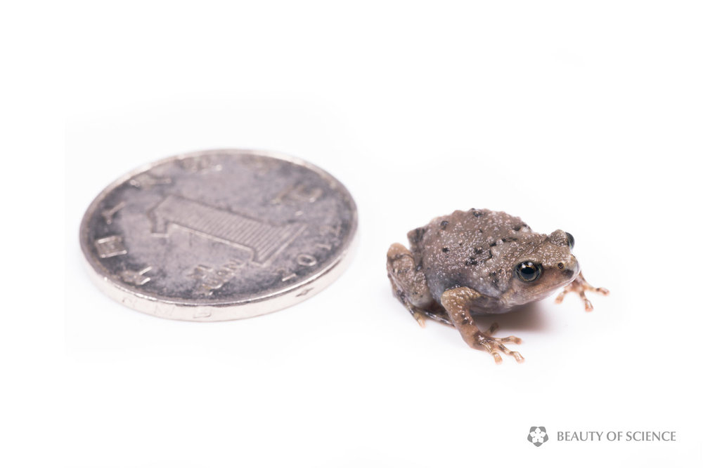 A young Sichuan narrow-mouthed frog is smaller than a coin with a diameter of 25 mm.