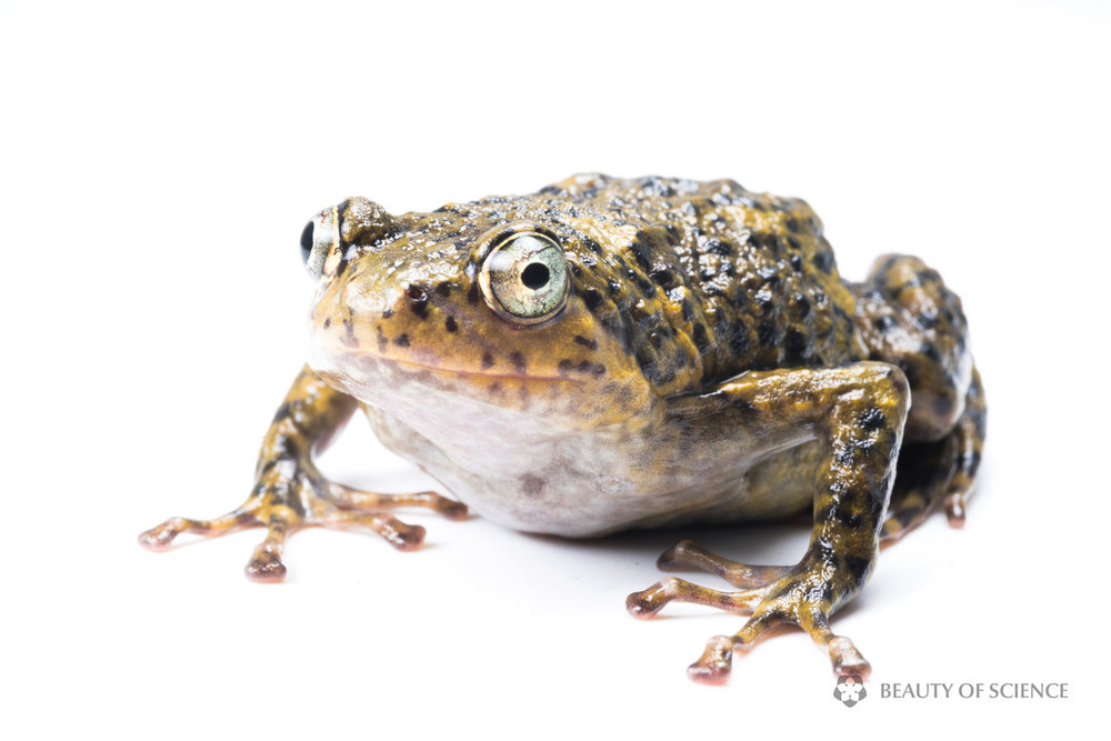 sichuan-narrow-mouthed-frog-white-08b.jpg
