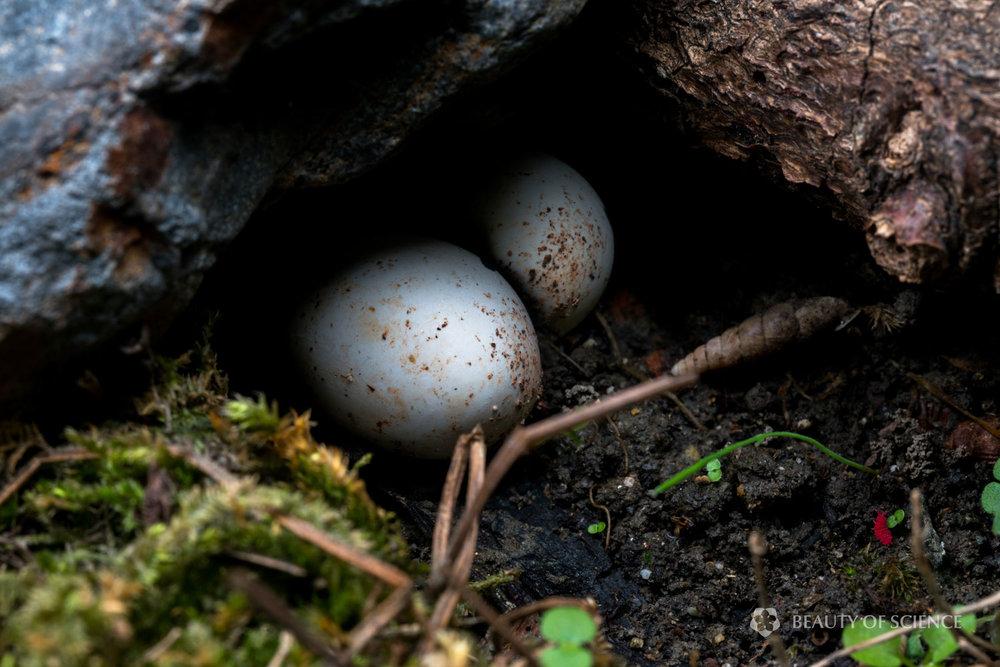 Eggs of  G. hainanensis.