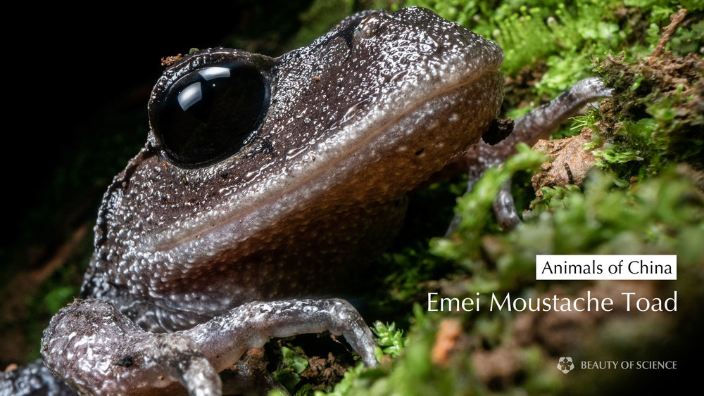 Cover-emei-moustache-toad.jpg