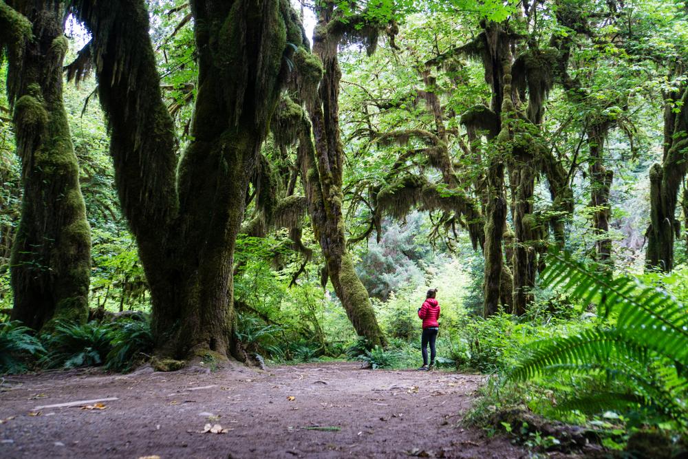 Hoh forest wonderland
