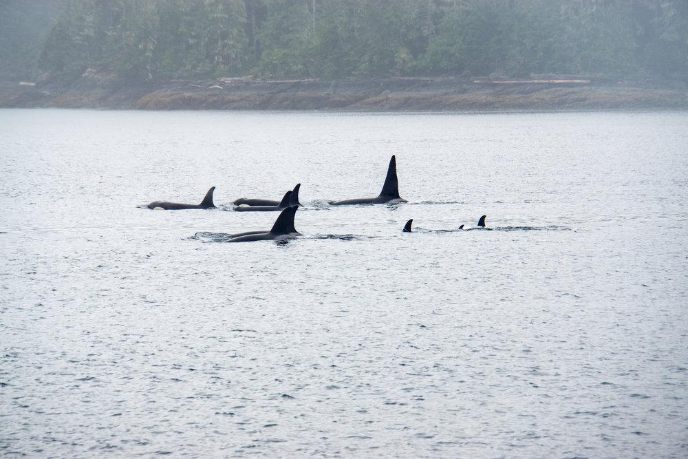 Orcas, orcas, orcas!