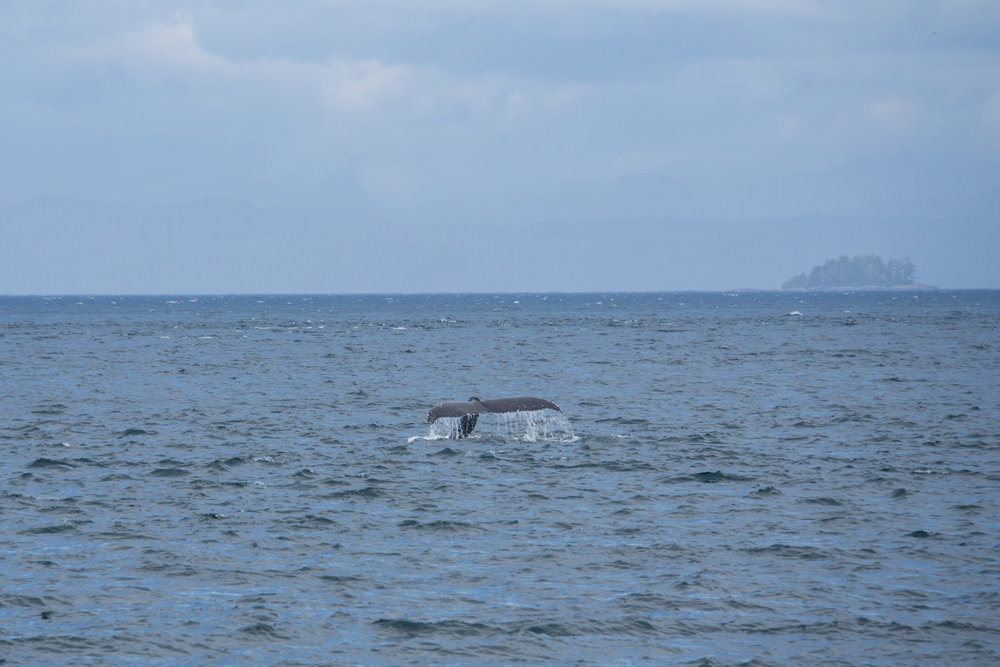 Humpbacks giving us a show