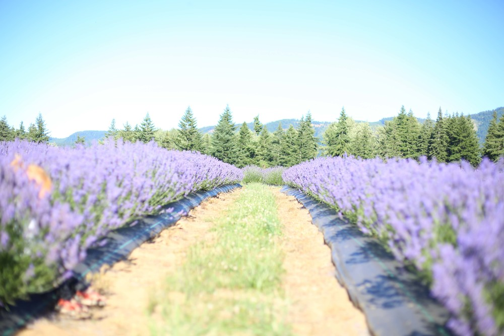 Lavendar Farm-45.jpg