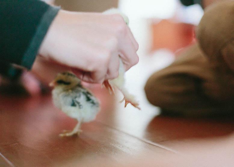 Baby Chicks-1.jpg