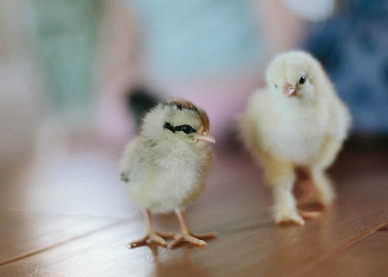 Baby Chicks-7.jpg