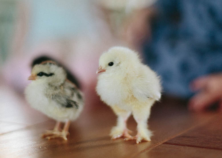 Baby Chicks-8.jpg