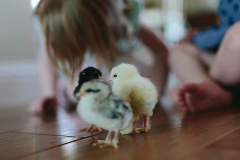 Baby Chicks-9.jpg