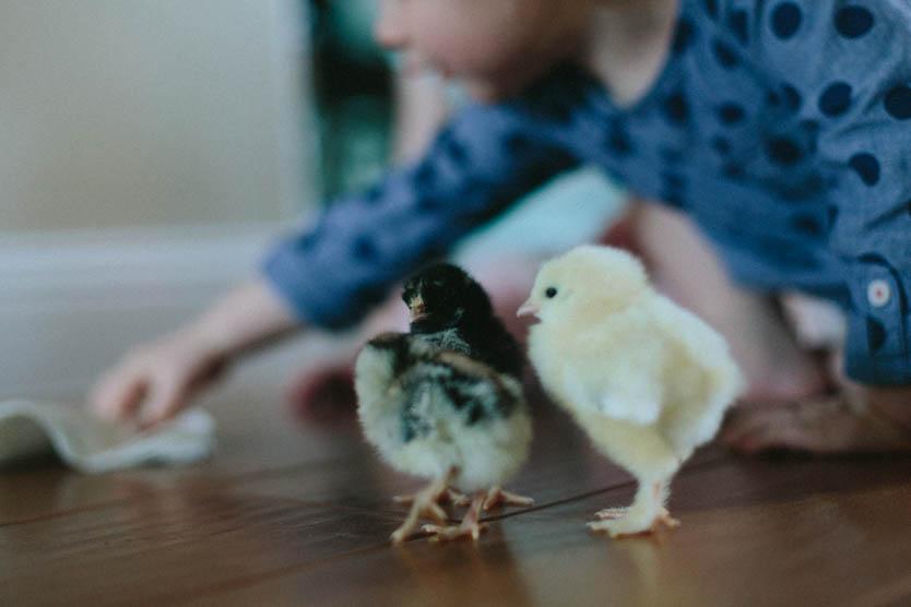 Baby Chicks-10.jpg