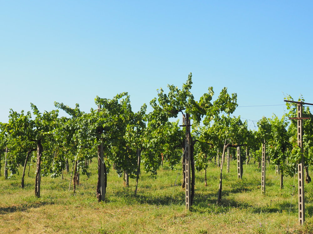 Franciacorta vines. Photo by me.
