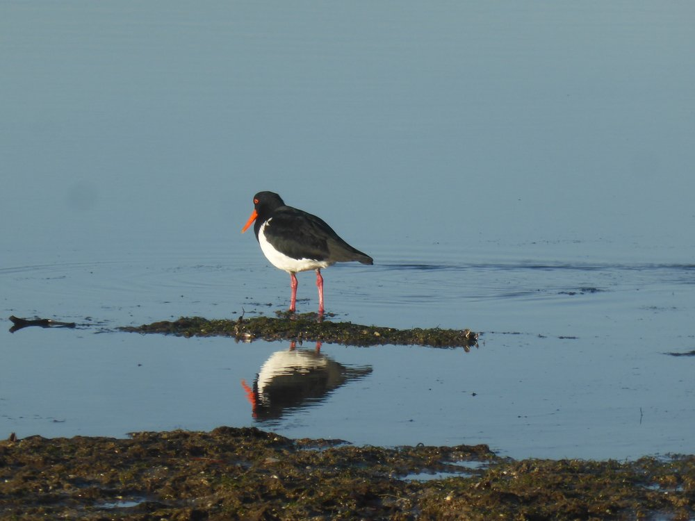 Oyster catcher reflect.jpg