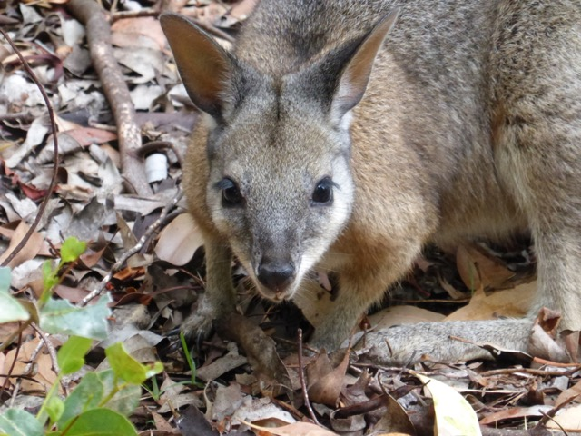 Tammar wallaby at Rocky River, Flinders Chase