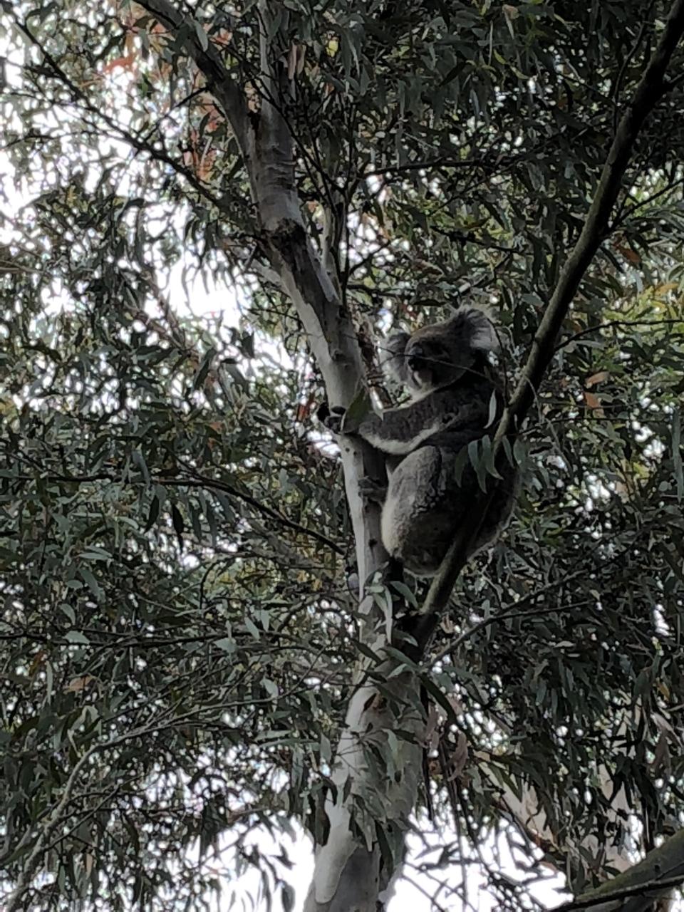 Koala at Island Chalet.jpg