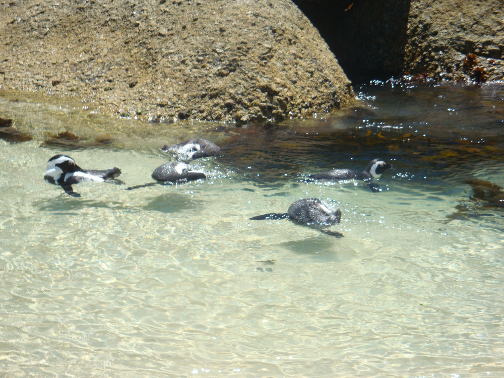Penguins swimming among the Boulders