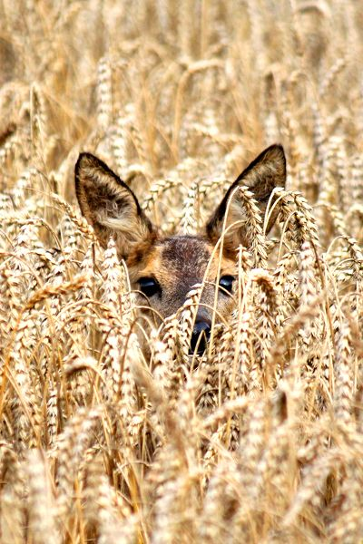 Deer in wheat fields