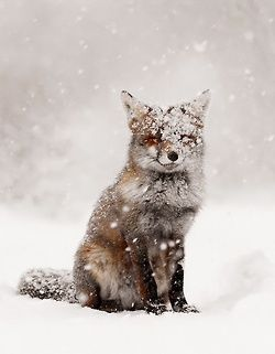 snow and fox