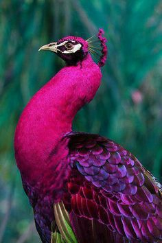 pink peacock