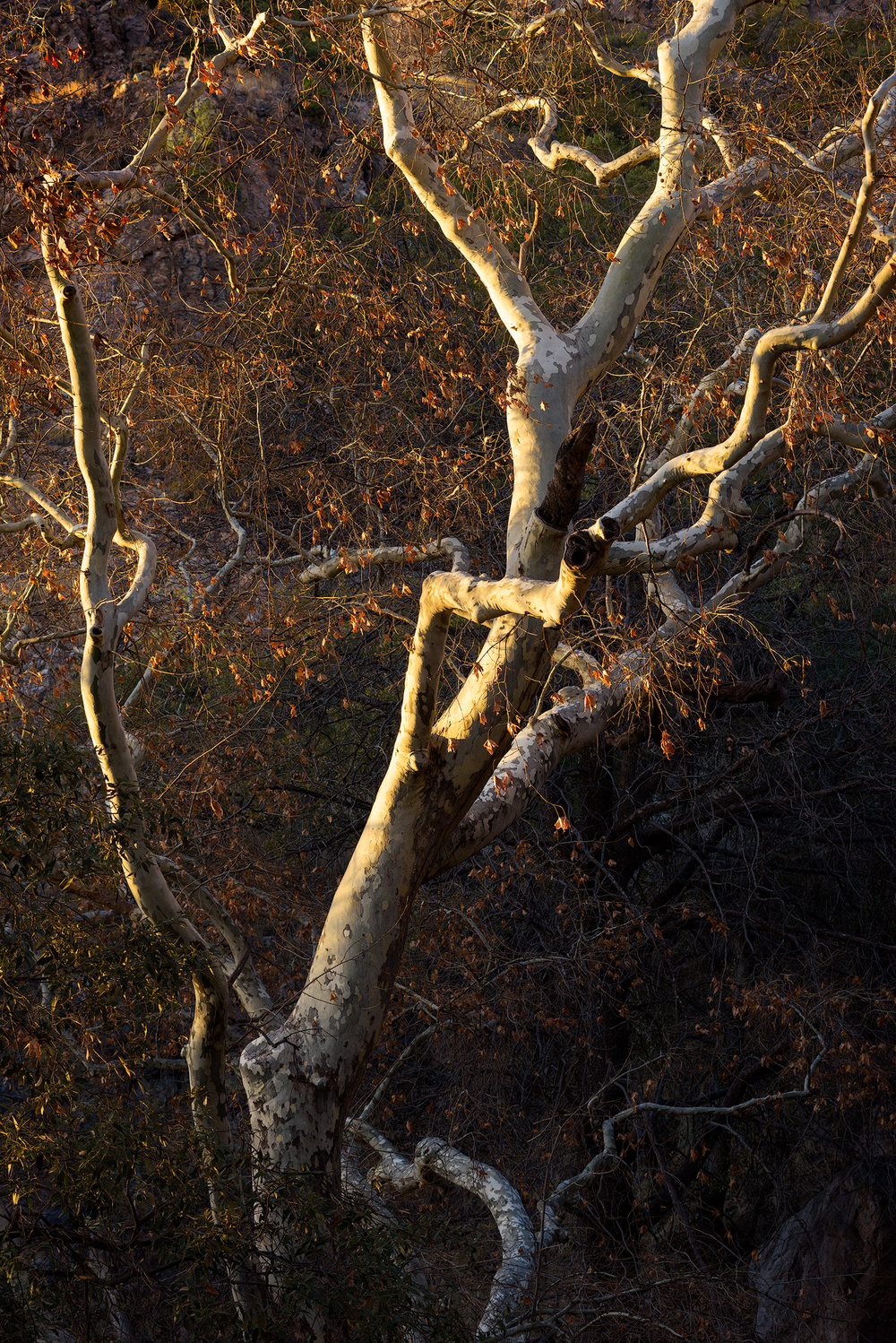 Arizona Sycamore basking in the glow of the setting sun.