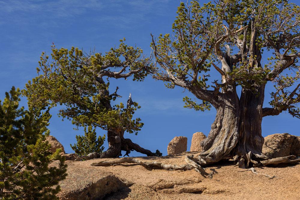 Bristlecone pine trees…just chillin'