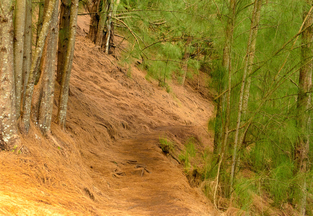 Ironwood pine straw covers the trail