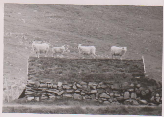 Sheep on top of the smokehouse