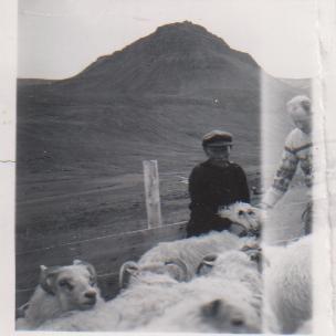 At the sheep round-up