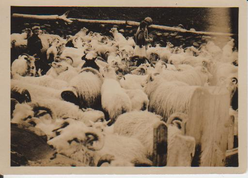 Sheep after they have been rounded up in the autumn