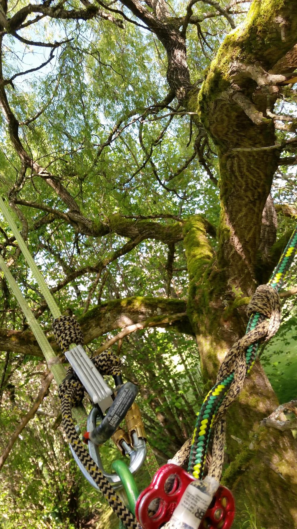willowpruning.jpg