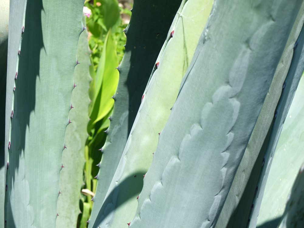 Agave (have to be wary of the agave when I'm returning from the bathroom with rinsed screens!)