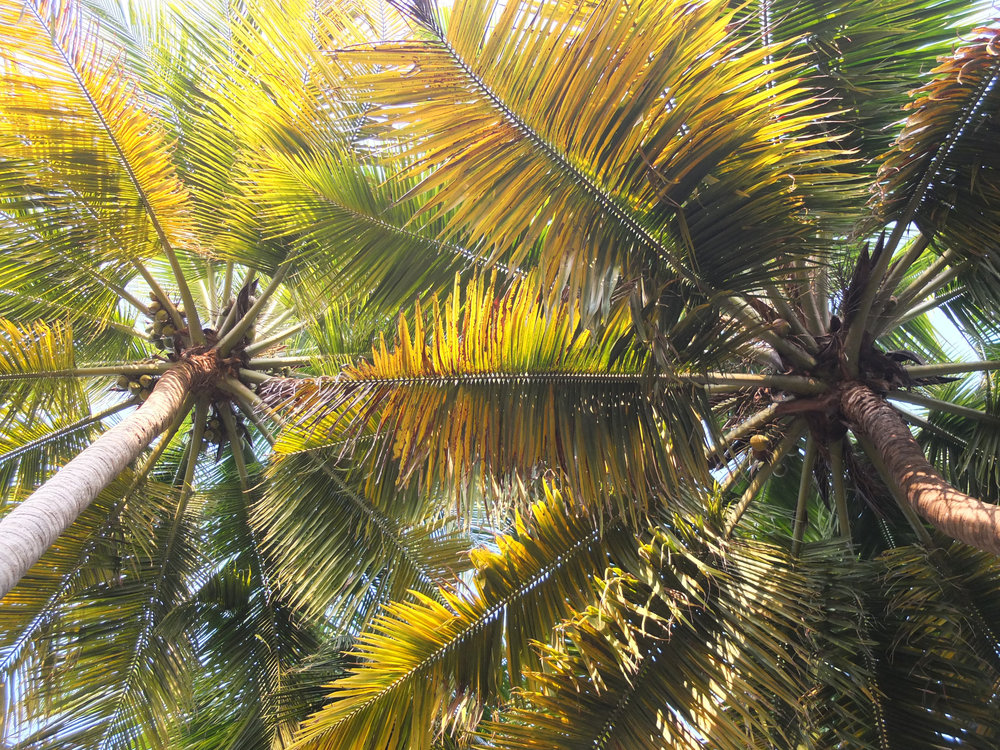 Coconut palms on the backwaters of Kerala