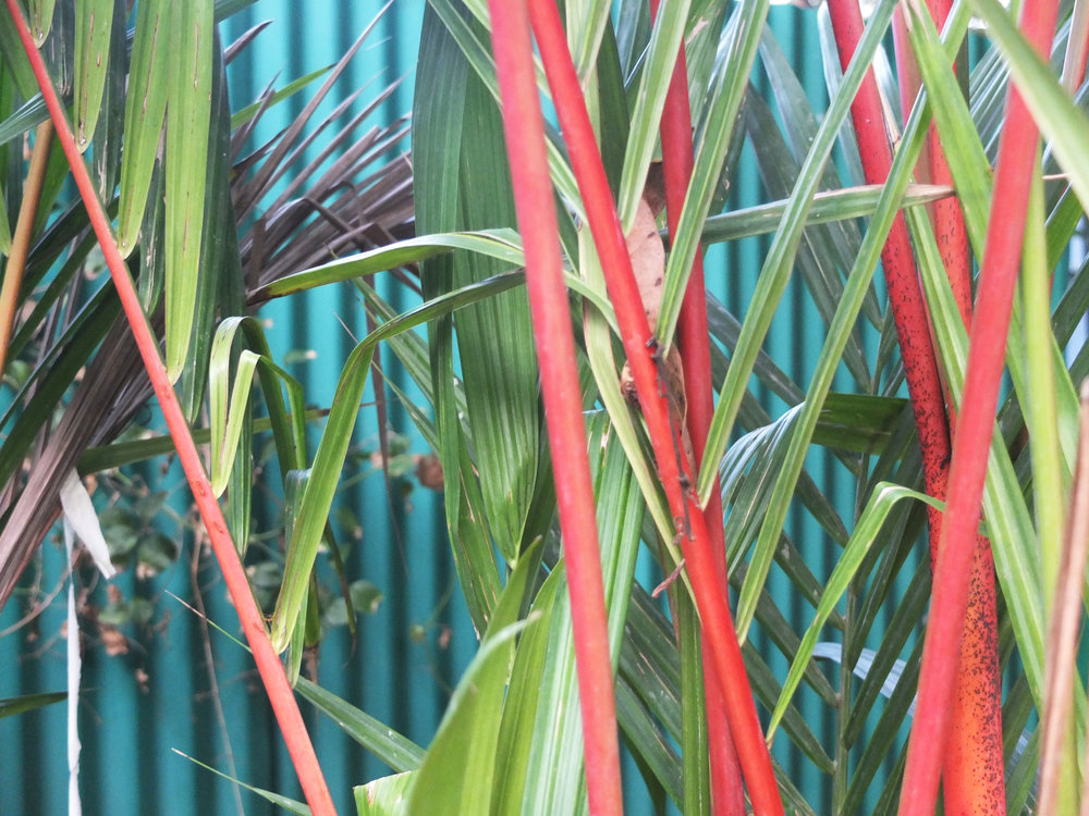 The beautiful red lipstick palm :-)