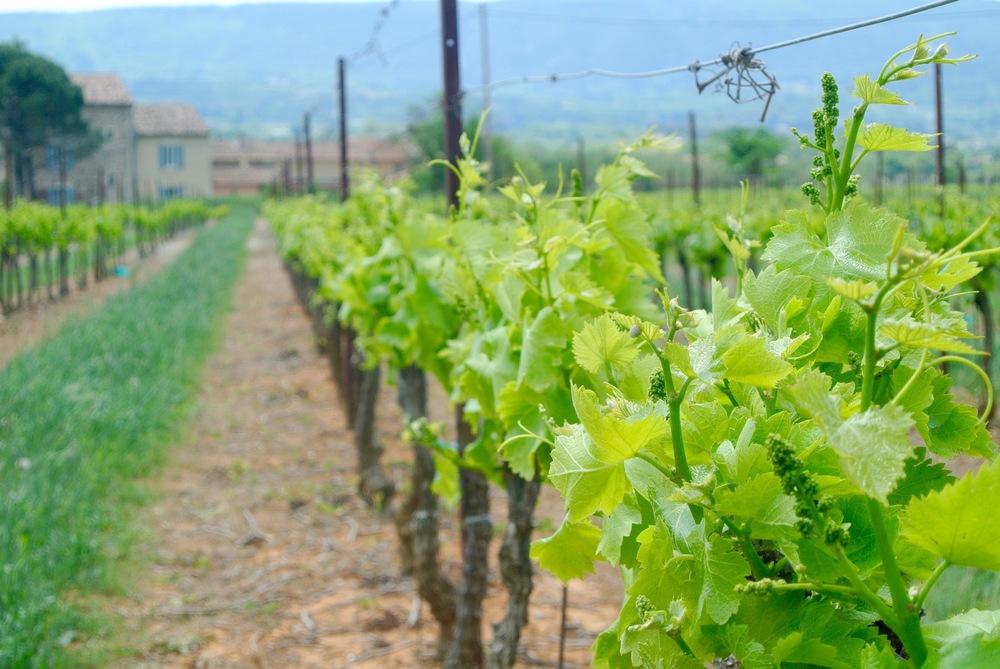 budding wine grapes