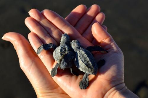 Baby turtles hatching at Playa Ostional