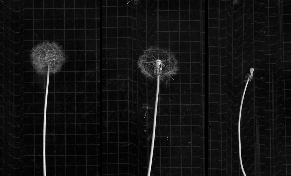 dandelion1.jpg
