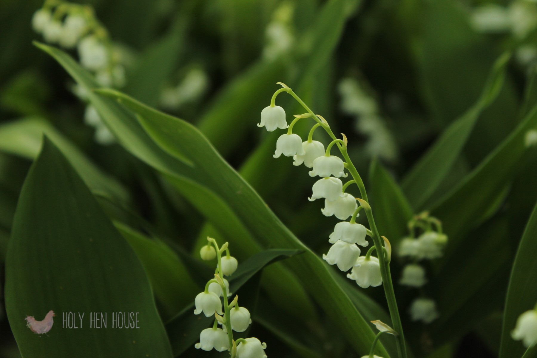 Lily_of_the_Valley (1)