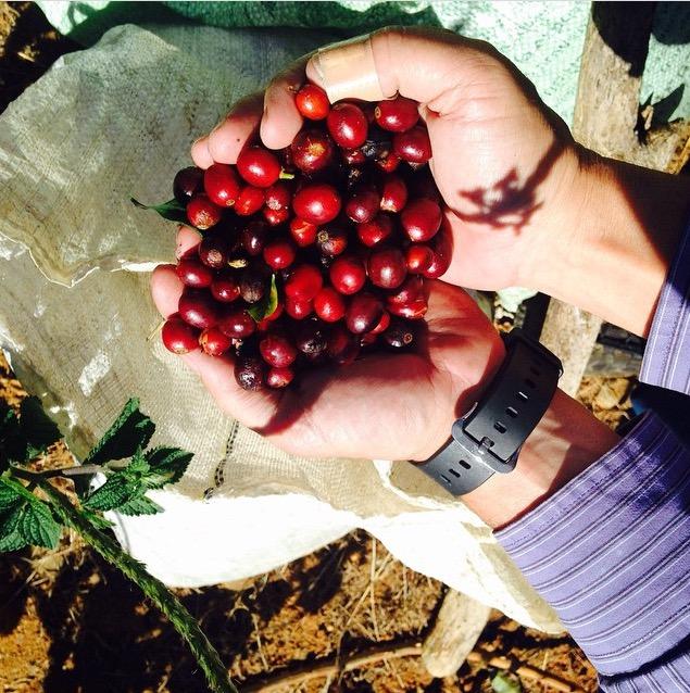 Ripe Costa Rican Coffee Cherries from San Marcos de Tarrazu