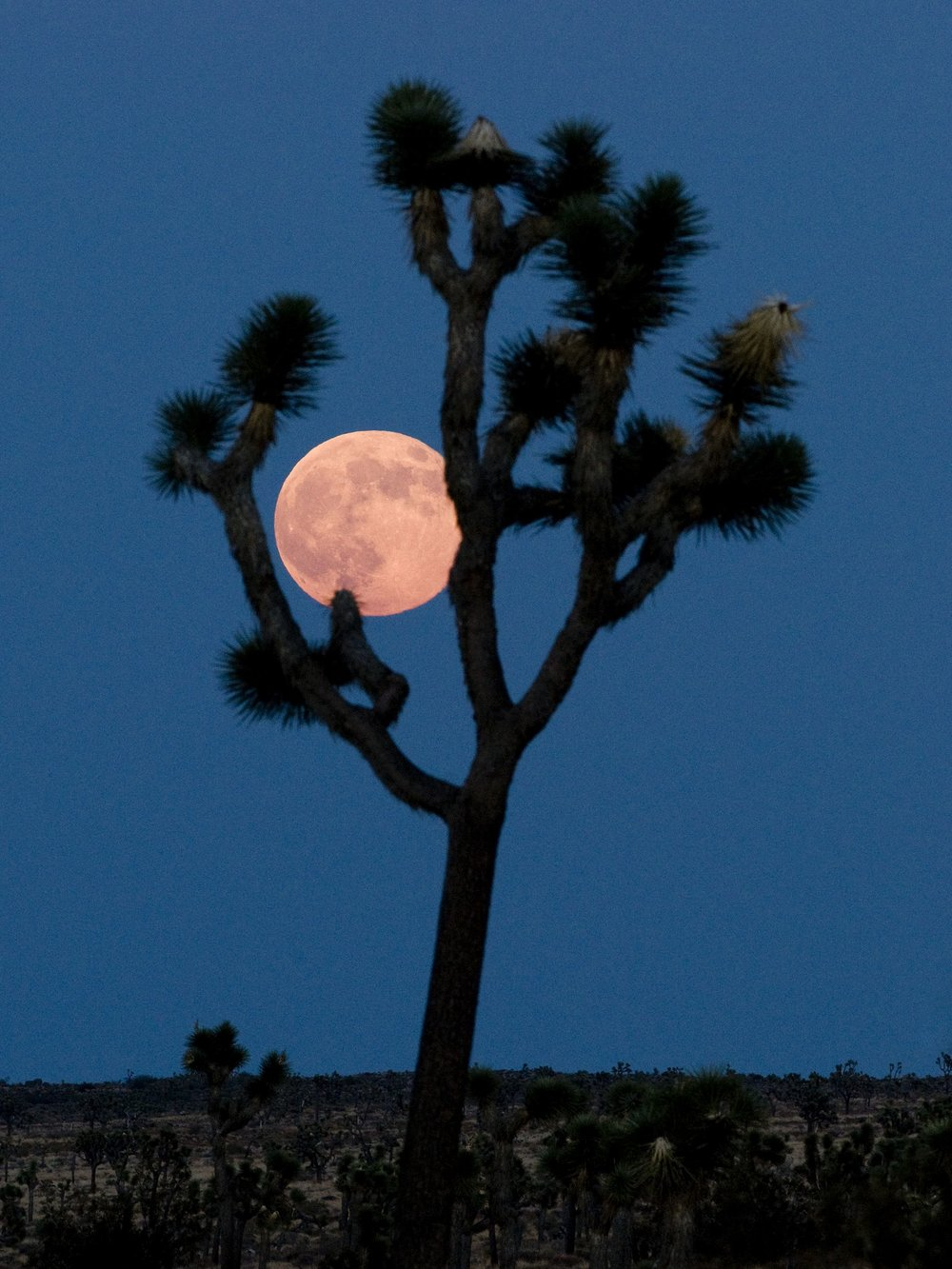 Supermoon rising over Queen Valley in Joshua Tree National Park; photo by NPS/Brad Sutton [CC BY 2.0 (http://creativecommons.org/licenses/by/2.0)], via Wikimedia Commons