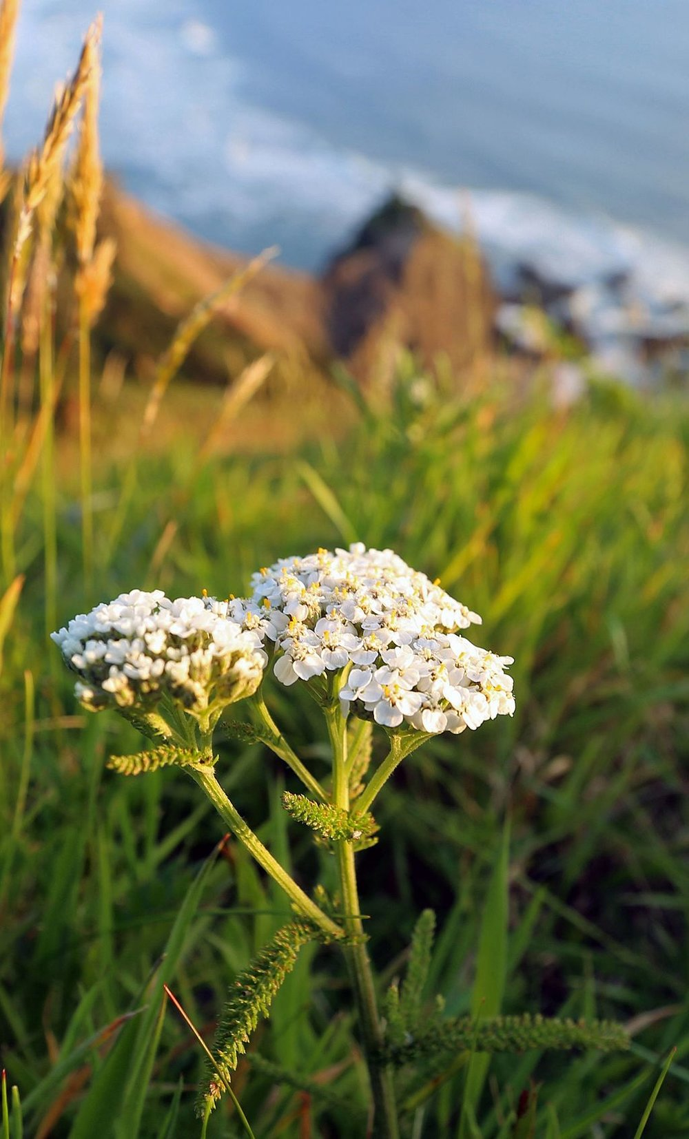 White Yarrow by Peter Pearsall/U.S. Fish and Wildlife Service, via Wikimedia Commons.
