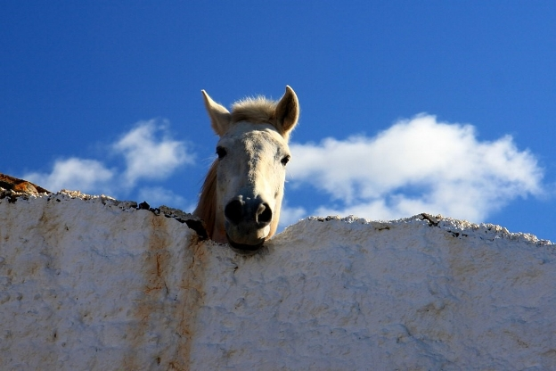 A horse looking over a wall; photo by muffinn, UK via Wikimedia Commons.