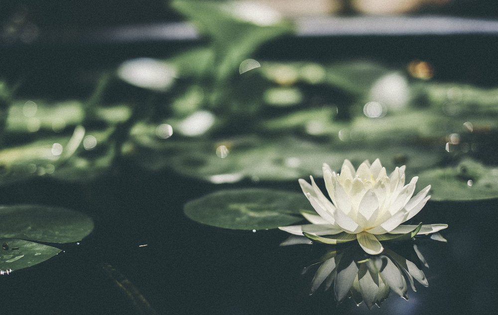 #waterlily #flower #photgraphy www.derrive.com