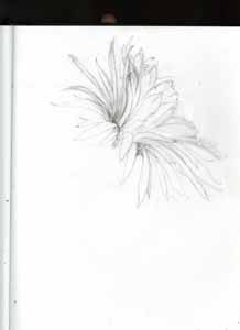 Kathy Crabbe. 2012. Cactus Flower. Pencil on paper, 8.5 x 11 inches.