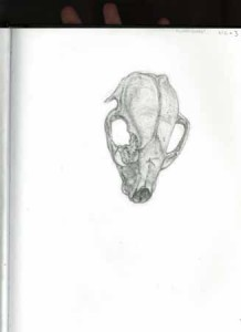 """Kathy Crabbe, Skull, 2012, pencil on paper, 8.5 x 11""""."""